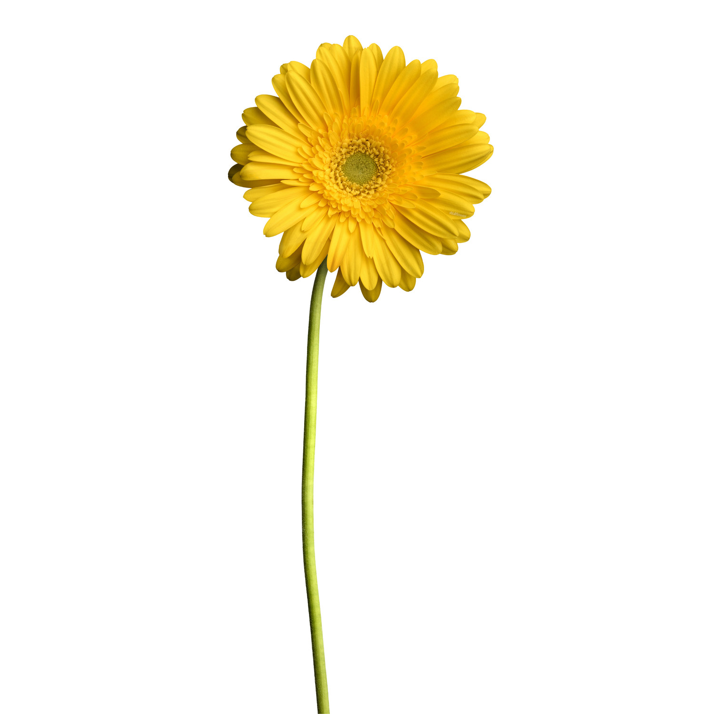Yellow Daisy Wallflower Decals Touch Of Modern