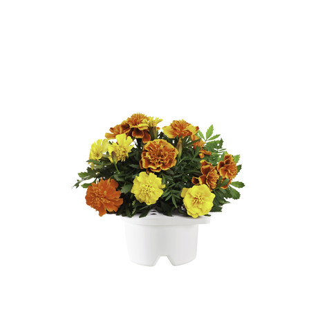 Click & Grow Refill // French Marigold