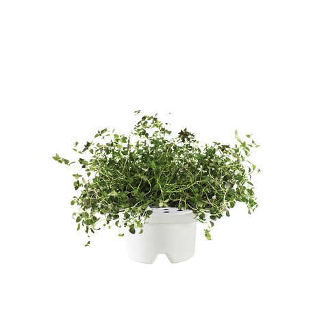Click & Grow Refill // Thyme