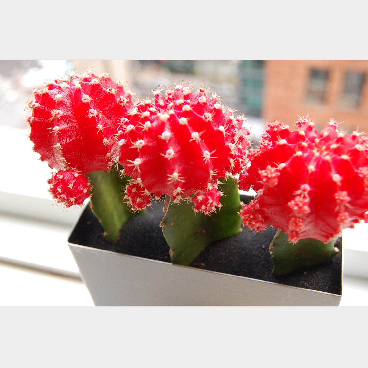 Lushmodern Red Moon Cactus Stainless Planter Lushmodern Touch