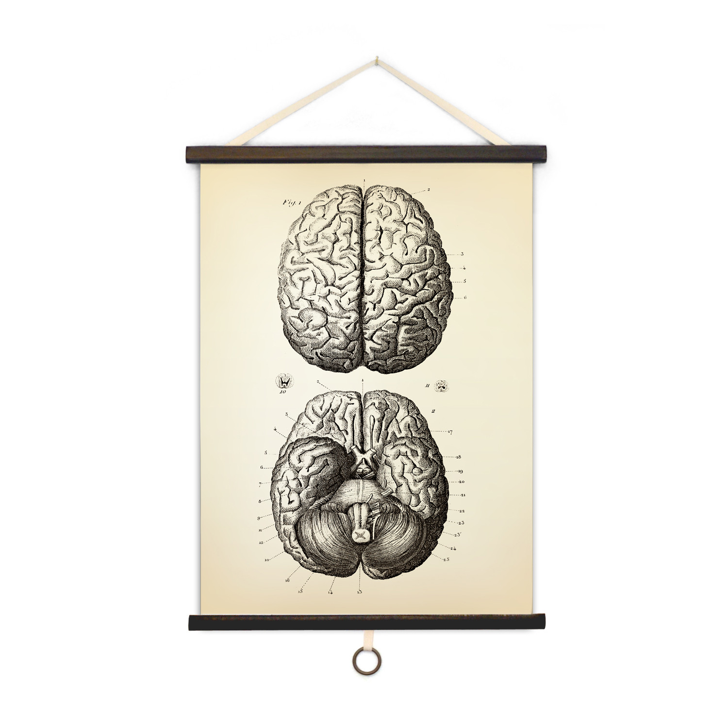 Vintage Anatomy Brains Curious Prints Touch Of Modern