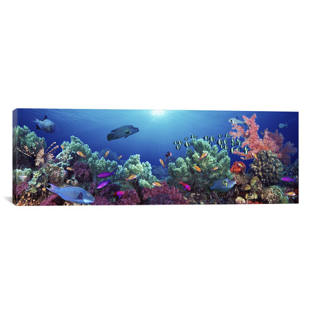 "School of Fish Swimming Near a Reef, Indo-Pacific Ocean // Panoramic Images Canvas Print (36""W x 12""H x 0.75""D)"