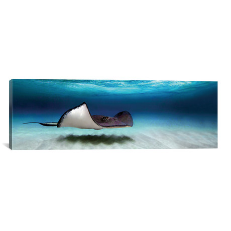 "Southern Stingray, Cayman Islands (36""W x 12""H x 0.75""D)"