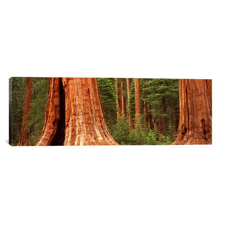 """Giant Sequoia Trees (36""""W x 12""""H x 0.75""""D)"""