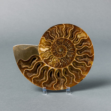 "Ammonite Fossil (3-3.5"")"