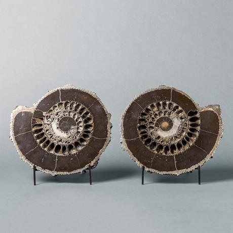 Ammonite Pair With Pyritization
