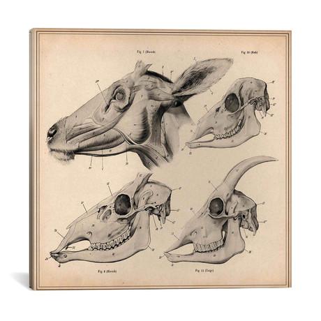 Goat Head Skeleton Anatomy // Pela & Silverman