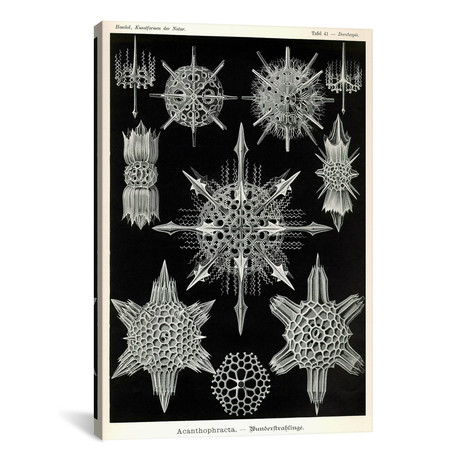 "Acanthophracta // Print Collection (18""W x 26""H x 0.75""D)"