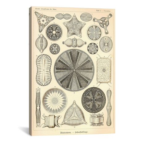 """Diatomea - Scheiben-Strahlinge - Heliodiscus by Print Collection (18""""W x 26""""H x 0.75""""D)"""