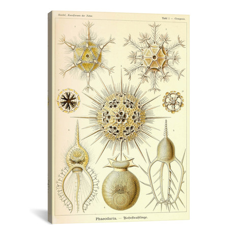 "Phaeodaria Radiolaria // Print Collection (26""W x 18""H x 0.75""D)"