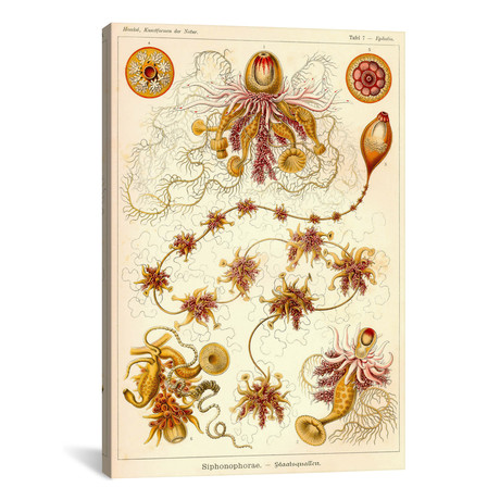 """Siphonophorae - Scheiben-Strahlinge - Heliodiscus by Print Collection (18""""W x 26""""H x 0.75""""D)"""