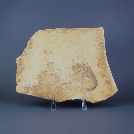 Fossilized Shrimp