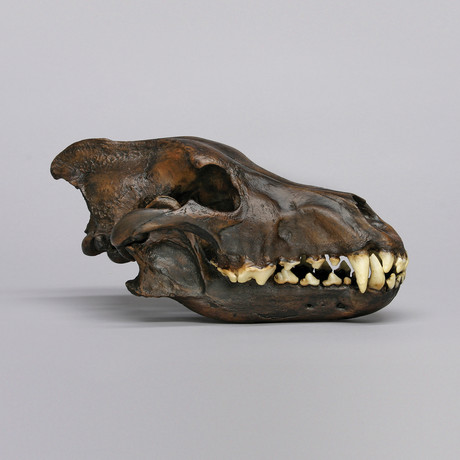 Dire Wolf Skull + Stand