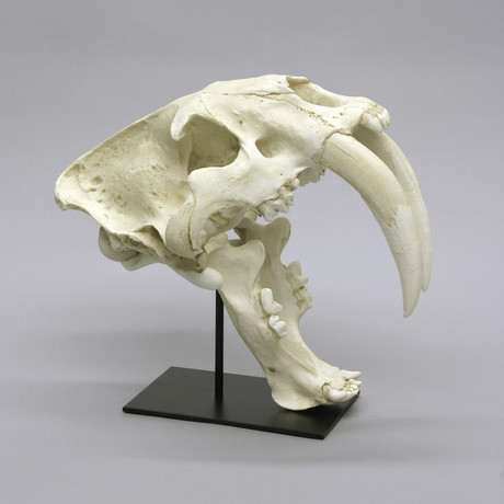 Deluxe Sabertooth Cat Skull + Stand (Antique Finish)