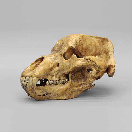 Cave Bear Skull + Stand