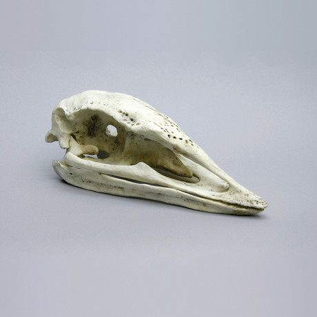 Giant Elephant Bird Skull