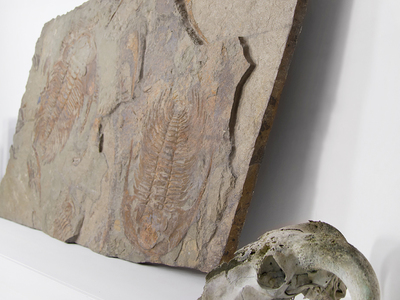 Touch Of Modern - Vosso Created By Eons. Designed By Nature Paradoxides Acadoparadoxides Trilobite Slab Photo
