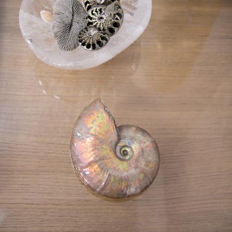 Opalescent Cleoniceras Ammonite