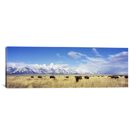 "Bison Herd, Grand Teton National Park, Wyoming, USA // Panoramic Images (60""W x 20""H x 0.75""D)"