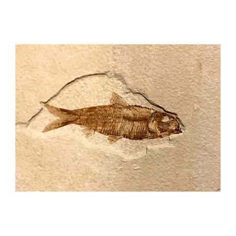 50 Million Year old Fossil Fish