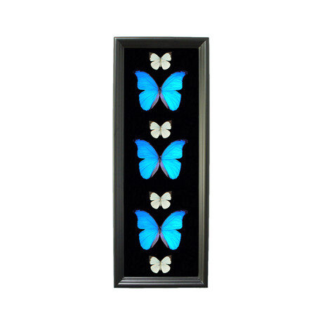 Large Blue Morpho Shadow Box