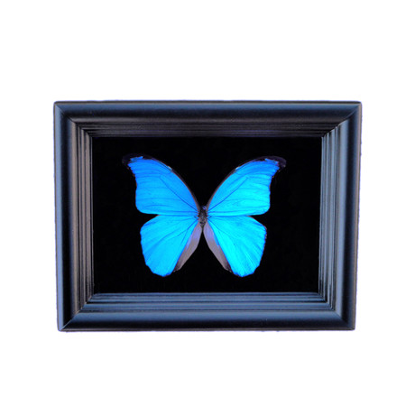 Blue Morpho Butterfly Shadow Box