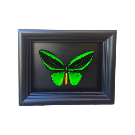 Birdwing Butterfly Shadow Box