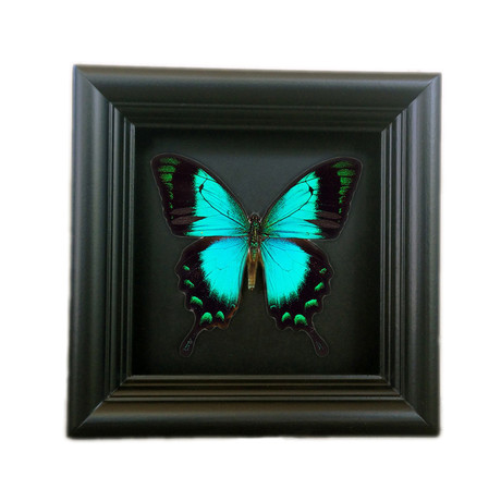 Papilio Albertisi Butterfly Shadow Box