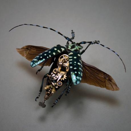Cerambycidae // Callophora Solli