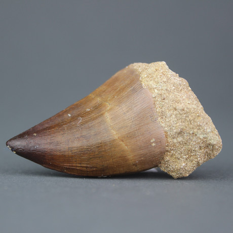 "Mosasaur Tooth (.75""-1"")"
