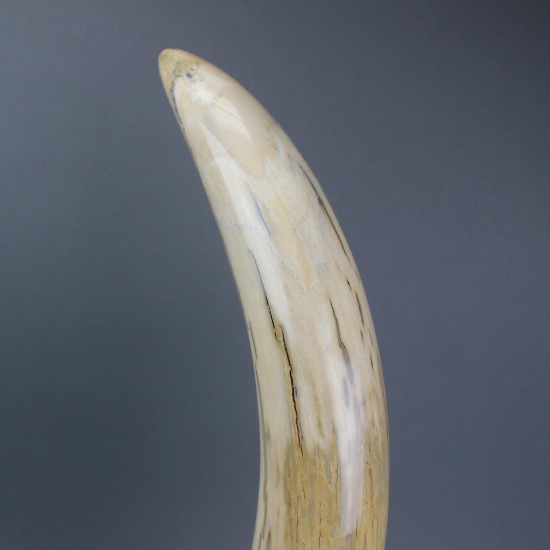 Mammoth Tusk (23 5