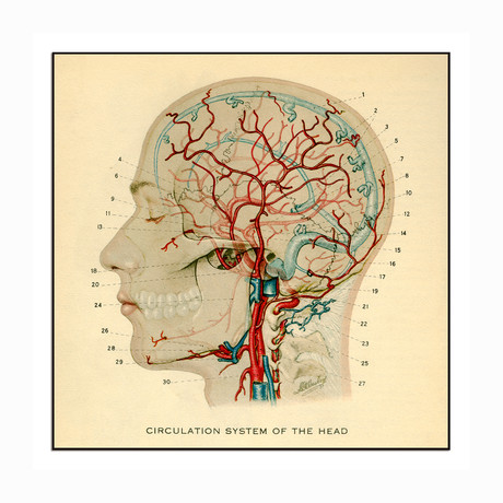 """Circulation System of the Head (11""""W x 11""""H x 1""""D)"""