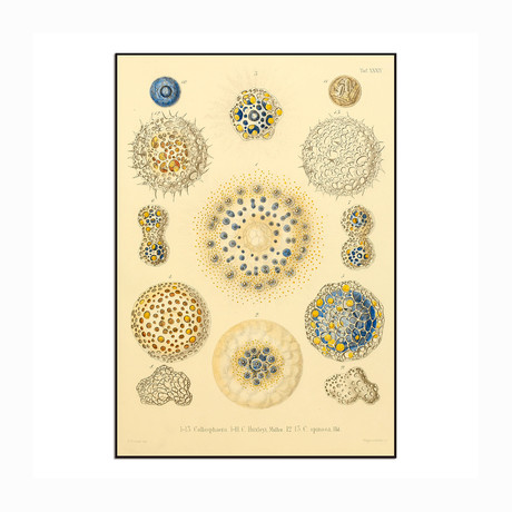 """Collosphaera Radiolaria (8.625""""W x 12.5""""H x 1""""D)"""