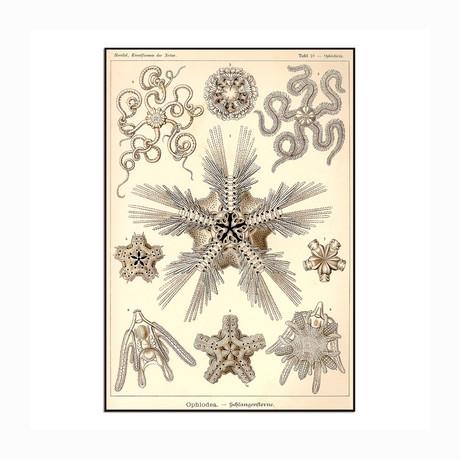 "Ophiodea (8.625""W x 12.5""H x 1""D)"