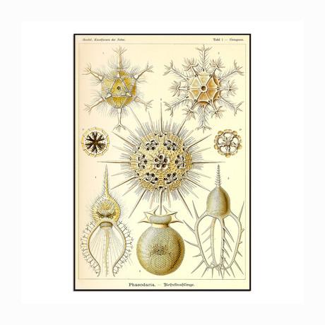 """Phaeodaria (8.5""""W x 12.5""""H x 1""""D)"""