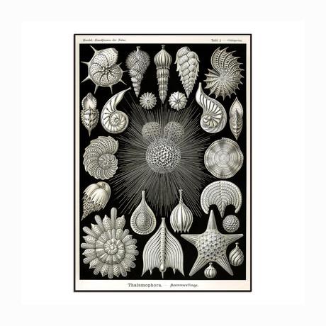 """Thalamophora (8.5""""W x 12.5""""H x 1""""D)"""