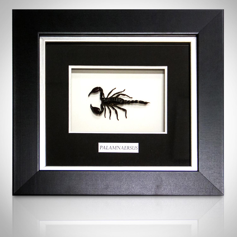 Scorpion Palamnaersus Authentic Taxidermy Custom Shadow