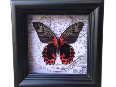 Photo of Asana Natural Arts Shadow Box Insect Specimens Scarlet Mormon Map Shadow Box by Touch Of Modern