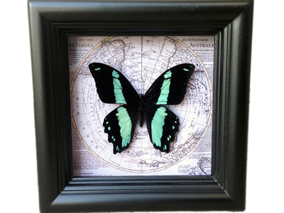 Asana Natural Arts Shadow Box Insect Specimens Papilio Bromius Map Shadow Box by Touch Of Modern - Denver Outlet