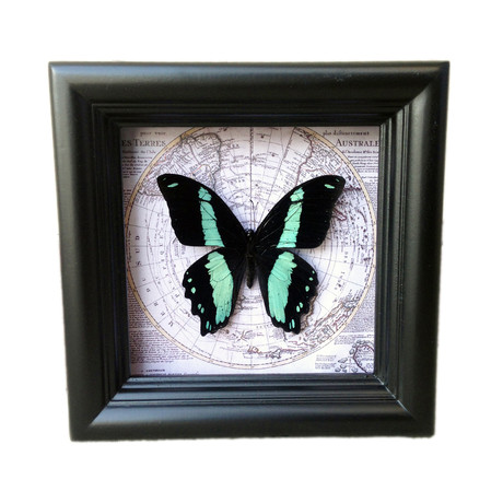 Papilio Bromius Map Shadow Box