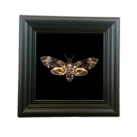 Death's Head Moth Shadow Box