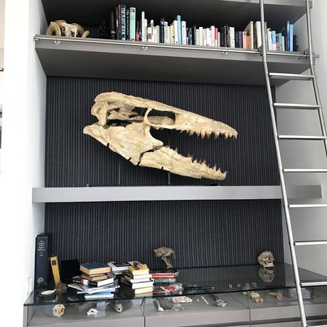 70 Million Year Old Mosasaur Skull