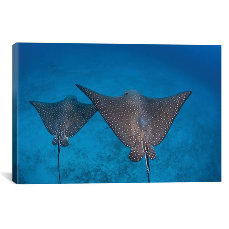 Spotted Eagle Rays Swim Over The Seafloor Near Cocos Island
