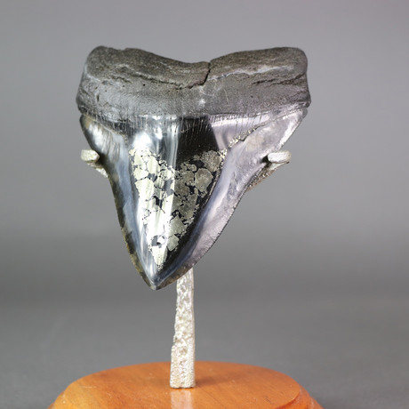 Megalodon Shark Tooth + Pyrite Inlay // 5