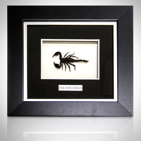 Scorpion-Palamnaersus Authentic Taxidermy // Custom Shadow Box Frame