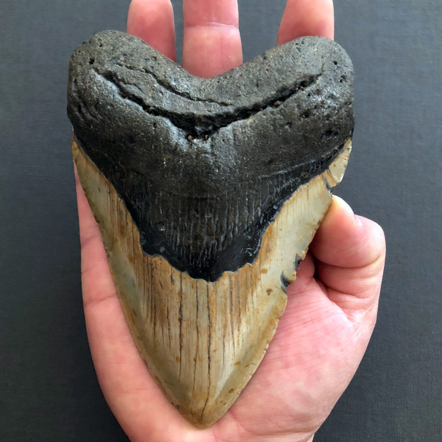 Large Megalodon Tooth - Pietra Gallery - Touch of Modern