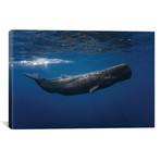 Sperm Whale // Barathieu Gabriel