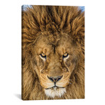 """Serious Lion // Mike Centioli (26""""W x 40""""H x 1.5""""D)"""