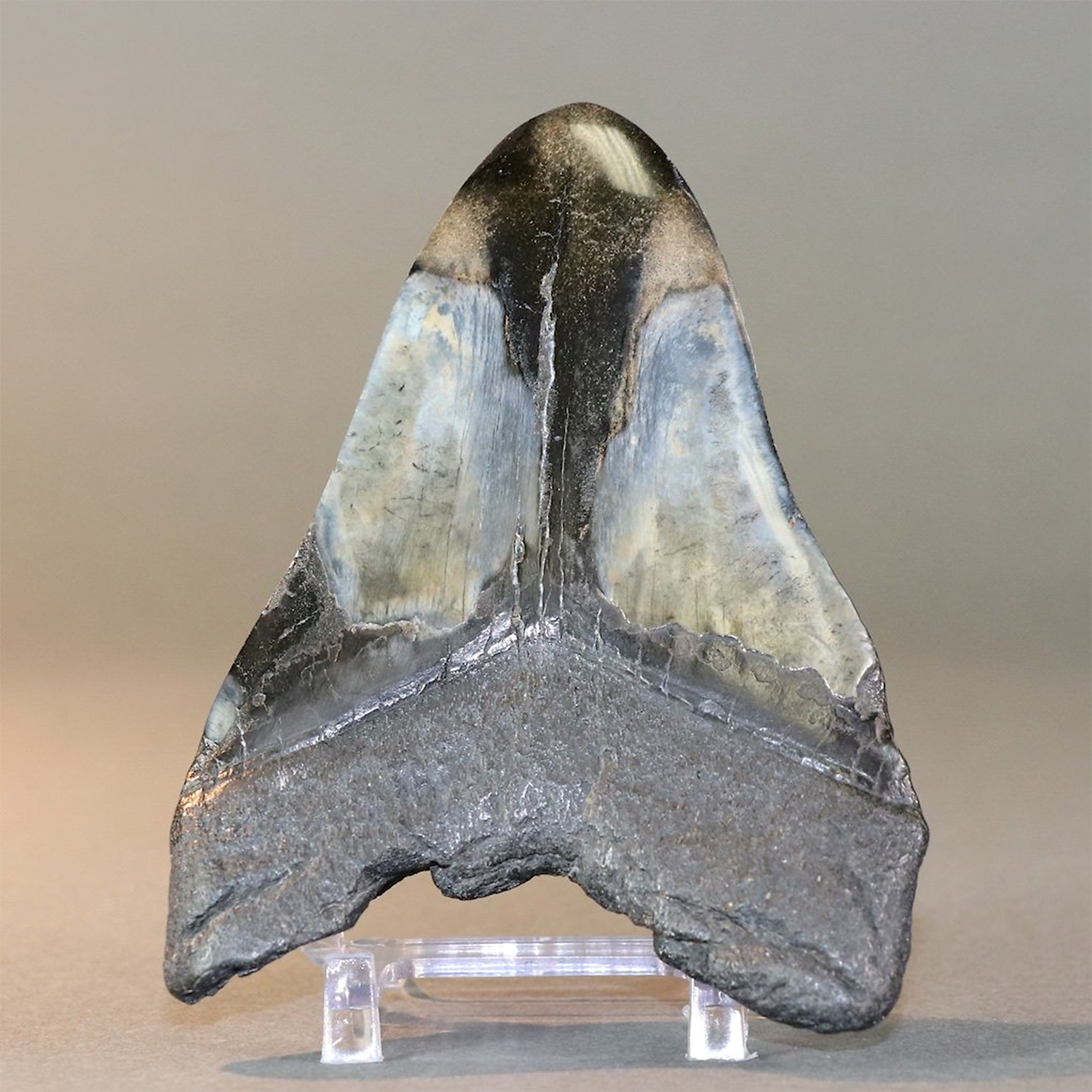 Polished Megalodon Tooth // 5.42 - Fossil Realm - Touch of Modern