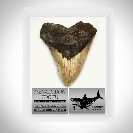 Megalodon Authentic Fossilized 5-7'' Huge Tooth // Museum Display (Tooth Only)